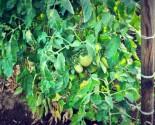 Pianta di pomodoro con frutti acerbi